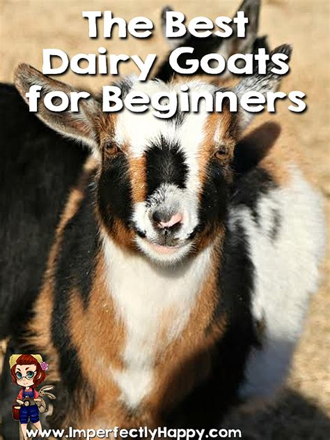 dairy goats  beginners imperfectly happy