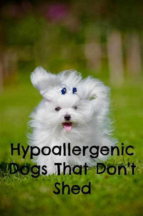 hypoallergenic breeds that dont shed pictures of dogs that do not shed pictures 2 breeds
