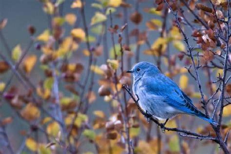 colorado bluebird project audubon society of greater denver