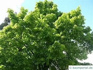 Linde Baum Steckbrief : riesenbl ttrige amerikanische linde tilia americacna 39 nova 39 ~ Orissabook.com Haus und Dekorationen