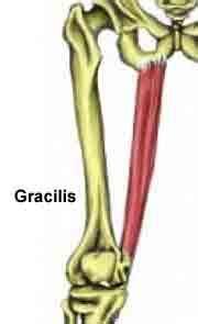 gracilis muscle definition diet
