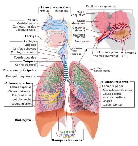 aparato respiratorio wikipedia la enciclopedia libre