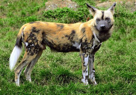 Lycaon Animal Wikipedia