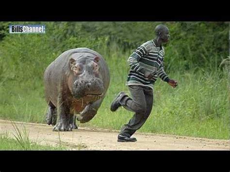 hippo attack  hippo attacks caught  camera