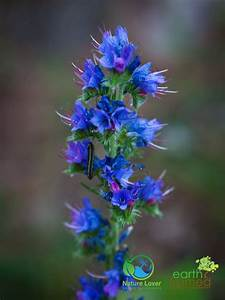 Identifying Wildflowers  Viper U0026 39 S Bugloss