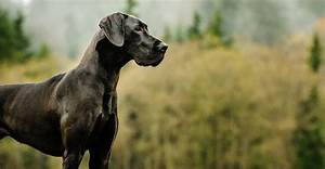 Great Dane Dog Breed Information - A Guide To This Giant Breed
