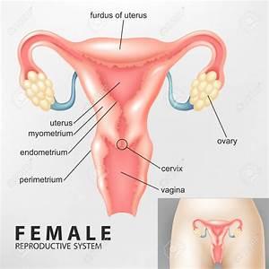 Hymen In Female Reproductive System Diagram - Anatomy Organ
