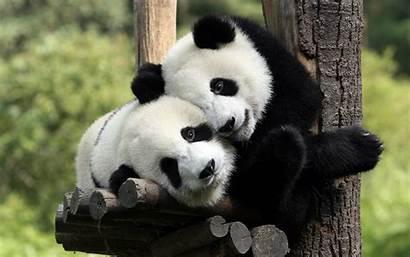 Panda Cool Funny Animals Pandas Wallpapers Giant