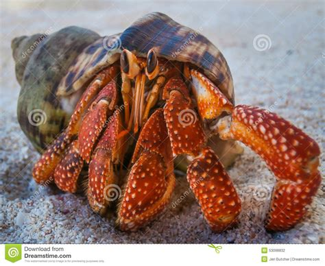 crab colors hermit crab on in hawaii stock photo image of
