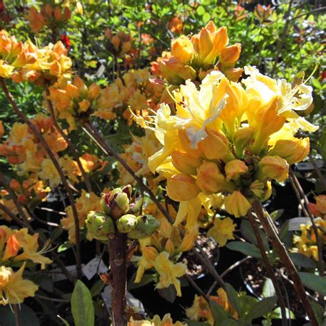 Golden Lights Azalea by Azalea Deciduous Golden Lights Larch Cottage Nurseries