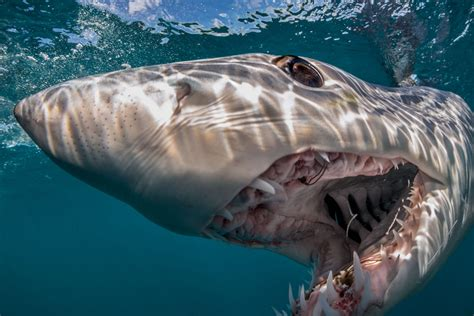 Liveaboard Boats For Rent San Diego by Meet And Dive With California S Mako Shark Shark Diving Usa