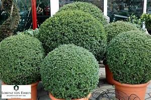 Ilex Crenata Krankheiten : 20 best images about ilex crenata on pinterest gardens hedges and shrubs ~ Orissabook.com Haus und Dekorationen