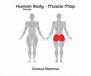 Human Anatomy - Muscle System