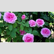 Best Way To Prune And Train Climbing Roses Youtube