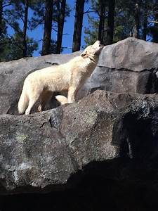 Tundra Animals Arctic Wolf Bearizona Wildlife Park