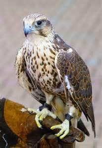 Hawk Spirit Animal Meaning
