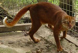 Elusive Cat Once Thought Extinct is Alive and OK in Borneo ...