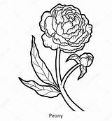 Flower Peony Coloring Line Drawing Illustration Template Bouquet Sketch sketch template