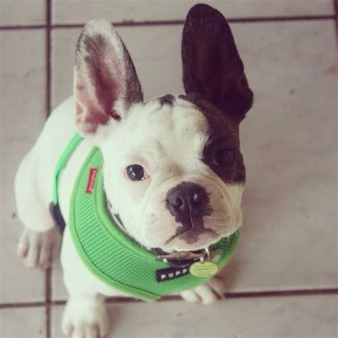 frenchton dog breed frenchtons   mix  boston