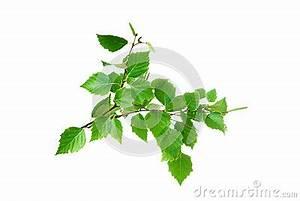 Branche De Bouleau : branche d 39 arbre de bouleau avec des feuilles et des aments ~ Melissatoandfro.com Idées de Décoration