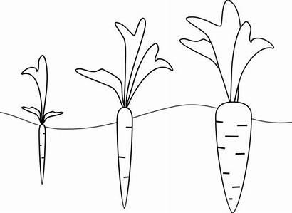 Coloring Carrot Colorear Growth Stages Zanahoria Crecimiento