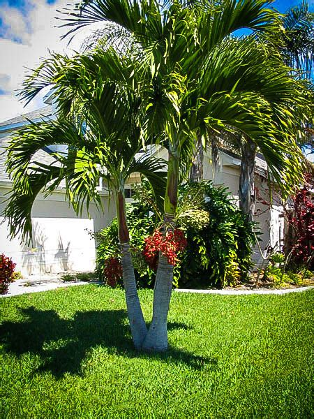 christmas palm tree for sale palm trees for sale the tree center