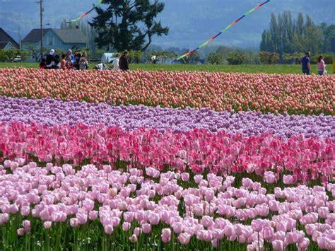 tulip season in usa skagit valley tulip festival 2016 a guide for visitors