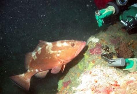 grouper ecology