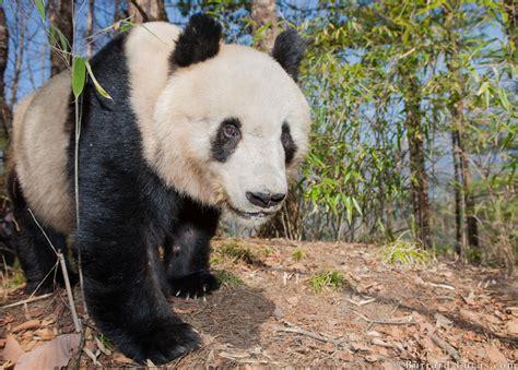 male giant panda burrard lucas photography