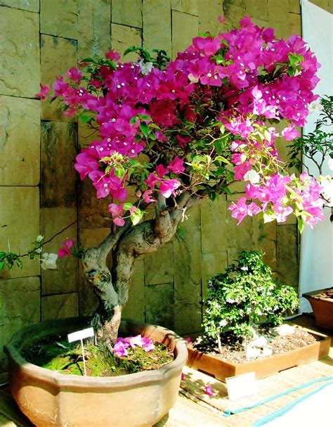 free photo bougainvillea bonsai small plant free