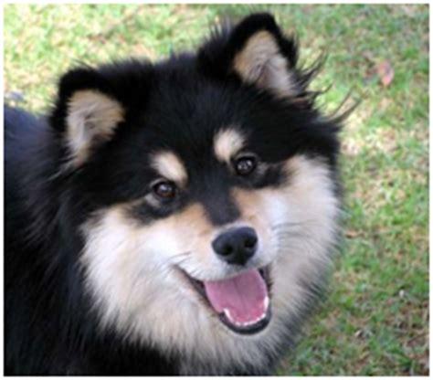 finnish lapphund care  lot pet supply