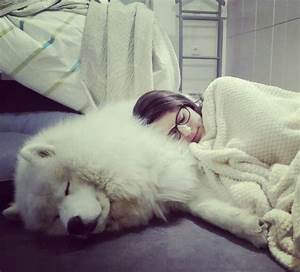 giant samoyeds and other giant fluffy dogs With big fluffy pillows sale