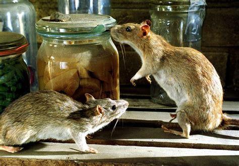 ratten im keller stoffwechsel h 246 heres diabetes risiko bei komasaufenden ratten welt