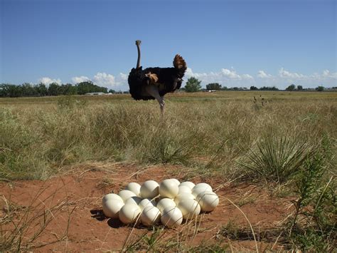 Visiting An Ostrich Farm In Oudtshoorn, South