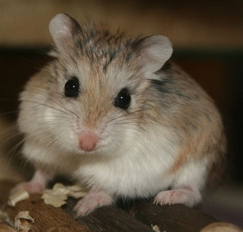 hamster names names for two female hamsters wroc awski informator internetowy wroc aw wroclaw hotele