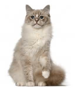 cats and kittens breed review ragdoll cats and kittens argos pet insurance