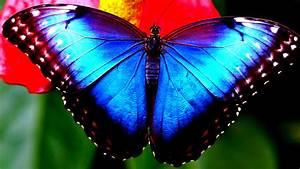 Butterfly With Blue Wings 4K UltraHD Wallpaper Wallpaper