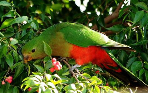 King Parrot Feeding Pentax User Photo Gallery