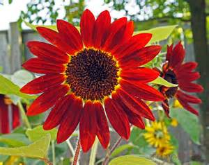Red Sunflower