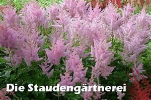 Was Blüht Im Schatten : astilbe arendsii hybr 39 cattleya 39 hortensien schatten und innenhof ~ Markanthonyermac.com Haus und Dekorationen