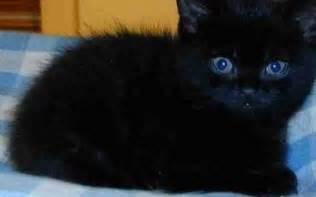 black ragdoll cat black ragdoll x kittens 9 weeks can deliver bradford