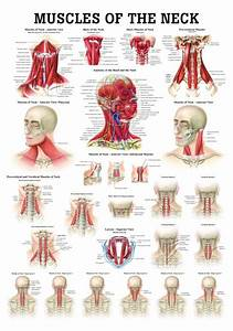 Internal Organs Of The Human Body Anatomical Chart Http Www Anatomywarehouse Com Media Catalog Product