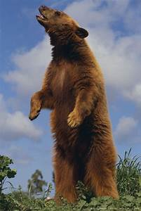 Bear Standing On Two Legs