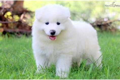 Max Samoyed Puppy For Sale Near Lancaster Pennsylvania