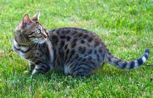 how much is a bengal cat bengal cats do they make pets coops cagescoops