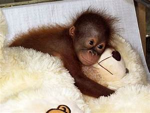 Primate diaries: Our orangutans in baby school come on in ...