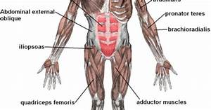 General Description On Human Muscular System