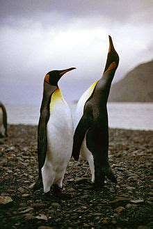 pinguine wikipedia