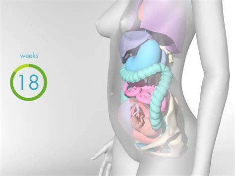 fetal development  babycentre uk