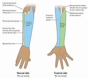 Human Anatomy For The Artist  The Dorsal Forearm  Part 1
